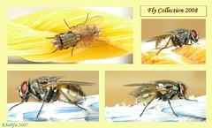 Fly Collection 2008 (khalifa_) Tags: blue orange macro yellow fly nikon collection khalifa 2008 08 p5000 amazingtalent      colourartaward