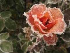 frosty rose (todbaker) Tags: frosty lakepark