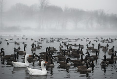I thought you said it wasn't black tie... (Diana Pappas) Tags: ny fog geese pond ducks holycrap letchworthvillage titlebydad thankspops