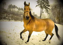 golden new year dance in the snow (Dan65) Tags: new winter horse snow ice gold austria golden year explore 103 buckskin dun teke akhal akhalteke auersthal