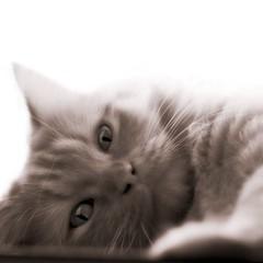 Hidden claws (Sator Arepo) Tags: roof portrait blackandwhite bw white black liz cat movie tin reflex high eyes kitten key elizabeth olympus maggie taylor highkey zuiko claws orton e500 uro bestofcats 50mmmacroed