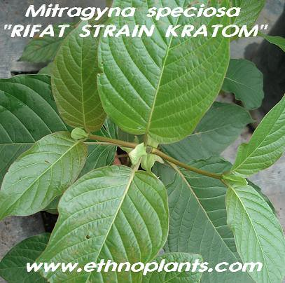 Kratom  mitra specio rifat02 picture photo bild