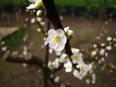 Fiorellino (Stranju) Tags: home garden casa dof or depthoffield fiore giardino fiorellino uras stranju fiorellin sfidephotoamatori