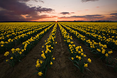 Spring Has Sprung (KPieper) Tags: sunset clouds landscape march washington spring rows valley daffodil sunburst skagit daffodils isawyoufirst kevinpieper kpieper pieperphotographynet