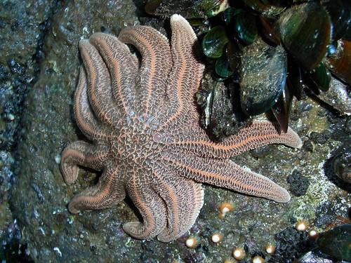 Star fish, Sun Star, Stichaster australis. MMMM Green-lipped mussels. Nom, Nom, Nom