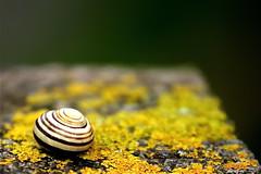 I wonder if snails have brains? (maapu) Tags: uk fab england green yellow patterns shell snail somerset um mells abigfave anawesomeshot maapu mauroof diamondclassphotographer flickrdiamond bloggedbyabigfave mauroofkhaleel conon40d