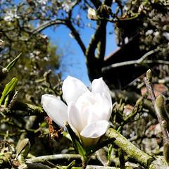 Parc de Maulévrier - Magnolia