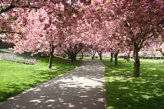 BBG Cherry Blossoms (NYCSnapHappy) Tags: brooklyn garden botanic bbg hanami