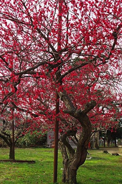 菅原神社の梅2