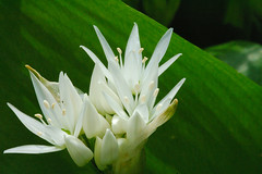 wild garlic / daslook (friedkampes) Tags: flower d50 garden ramsons wildgarlic alliumursinum daslook friedkampes medvehagyma