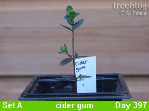 cider gum No. 1