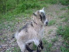 Niabi goatdance