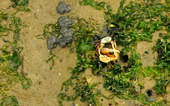 Fiddler Crabs Fighting
