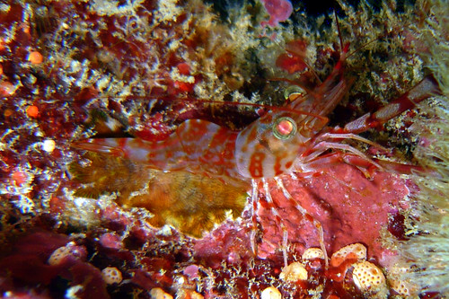 Reticulated Hinge-Beak Shrimp at Similan Islands