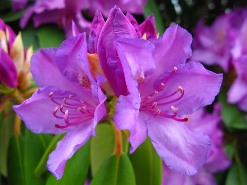 West Virginia State Flower Rhododendron