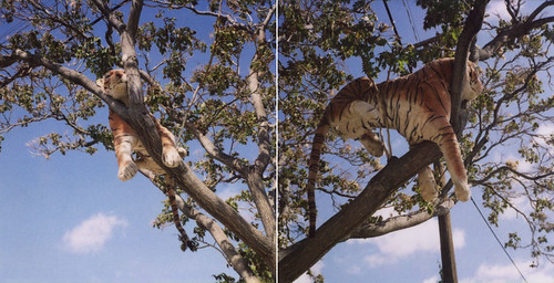 I saw a tiger in a tree on the way to work this morning.