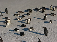 African Penguins (Mark Turner) Tags: africa bird fauna southafrica penguin wildlife capetown bouldersbeach kaapstad africanpenguin jackasspenguin dopplr:explore=esf1