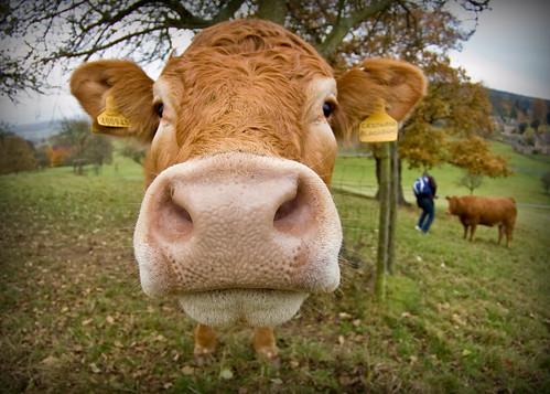 animal rights cow