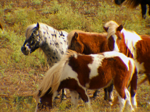 Mini Horse 3