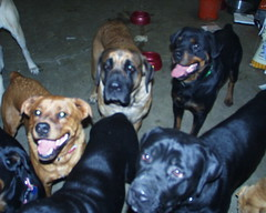 The Crew Waiting For Their Treats (muslovedogs) Tags: treats mastiff rottweiler maggie coco playtime canecorso mylady mastweiler zeusoffspring