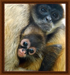 A study of a Spider Monkey and her baby on a cold November day in Canada - Picture 3 (singhsardar) Tags: baby toronto ontario cold cute animal animals zoo monkey bigeyes nikon soe maternal huddle torontozoo spidermonkey blustery momandbaby babyanimal woebegone cuteanimal naturesfinest maternalinstinct d80 impressedbeauty spidermonkeybaby naturesbabies animalhuddle