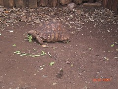 Mealtime for the tortoises