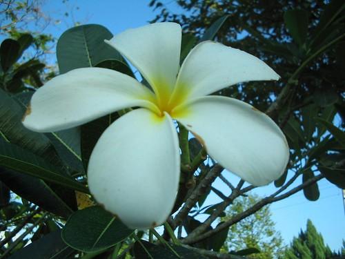 kemboja/frangipani