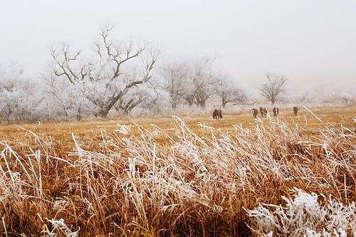 snowy horses 161