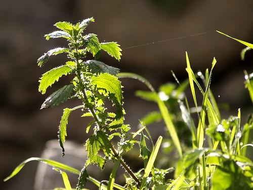 Purín de Ortigas, El mejor abono e insecticida ecológico 1