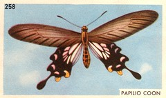 papillon 014