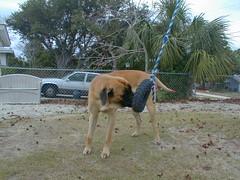 Malcolm 009 (rezazzer) Tags: malcolm englishmastiff mastiff