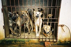 Caged dogs (David Barrie) Tags: food dogs lomo cage lomolca vietnam dogmeat phuquoc gatheringplace thitcho vandinh