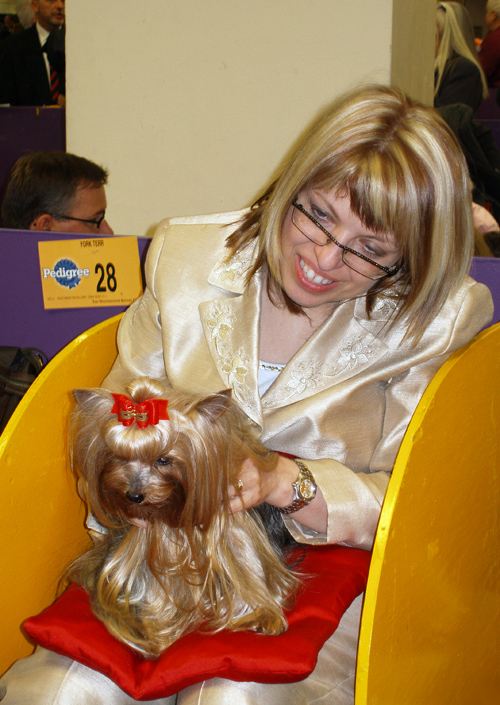 Yorkshire Terrier #28, Westminster Kennel Club Dog Show, Madison Square Garden, NYC