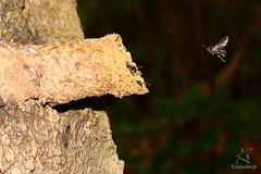 DE VOLTA PARA CASA (Klauber Gurgel) Tags: brasil natal natureza inseto floresta mato vôo riograndedonorte parquedasdunas arapuá sonyh9