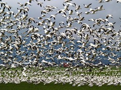 Engulfed By Snow Geese (moonm) Tags: birds geese snowgeese gaggle