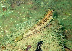 IMG_3969 goby
