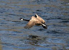 in flight (Boston Wolverine) Tags: bird water river fly flying michigan birding flight wing annarbor arboretum goose huronriver canadiangoose flap brantacanadensis 70300mmf456