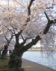 The Old Cherry Trees (Kurlylox1) Tags: pink flowers trees washingtondc spring blossoms sakura cherryblossoms yoshino tidalbasin abigfave aplusphoto diamondclassphotographer flickrdiamond ilovepics