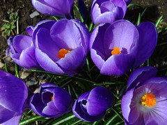 Crocuses. A variety called Queen of the blues. (Shandchem) Tags: crocus crocuses abigfave ultimateshot diamondclassphotographer goldstaraward