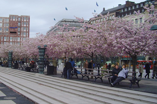 Sakura in Stockholm (Full Bloom)