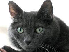 Nietzsche (Leya :P) Tags: portrait sun green face cat grey kitty greeneyes wiskers