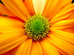 Good morning sunshine. Orange you glad the the weekend is here? (Time for a Change, Helen) Tags: orange sun flower macro sunshine interestingness bright blossom weekend explore daisy bloom badpuns explored diamondclassphotographer inandoutofexplore explorewinnersoftheworld