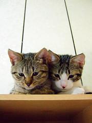 Zaizai and Banban (Chrischang) Tags: pet animal cat 貓 zaizai banban 20080430