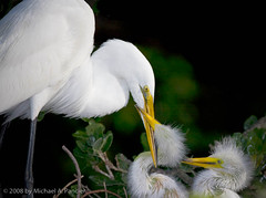 A Mother's Love (Michael Pancier Photography) Tags: birds bravo florida mothers moms chicks staugustine greategret rookery fineartphotography naturephotography seor alligatorfarm supershot naturephotographer abigfave floridaphotographer michaelpancier michaelpancierphotography avianexcellence betterthangood floridaavianphotography wwwmichaelpancierphotographycom seorcohiba floridabirdsbirdsofflorida
