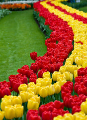 There's Always Someone Who Stands Out From The Croud... (Philipp Klinger Photography) Tags: red flower holland green netherlands yellow bed curves tulip philipp keukenhof lisse klinger dcdead