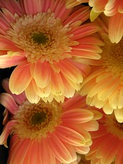 Gerberas (MaLuMaPe) Tags: flowers flores flower nature lafotodelasemana plantas zoom mercado celaya gerbera guanajuato eligetucolor masterphotos lfs052008