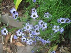Gillia tricolor