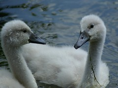 2 of 9 (sacipere) Tags: park lake bird swan pond ave juvenile schwan vogel junge cygnusolor babyanimal abigfave