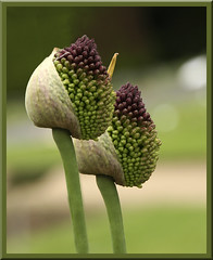 Alliums about to burst into life... (Vonnie red) Tags: flowers flower canon frames bulbs buds colourful blooms 30d iloveit mimamorflowers