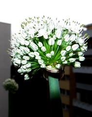 Cipolla in fiore 6